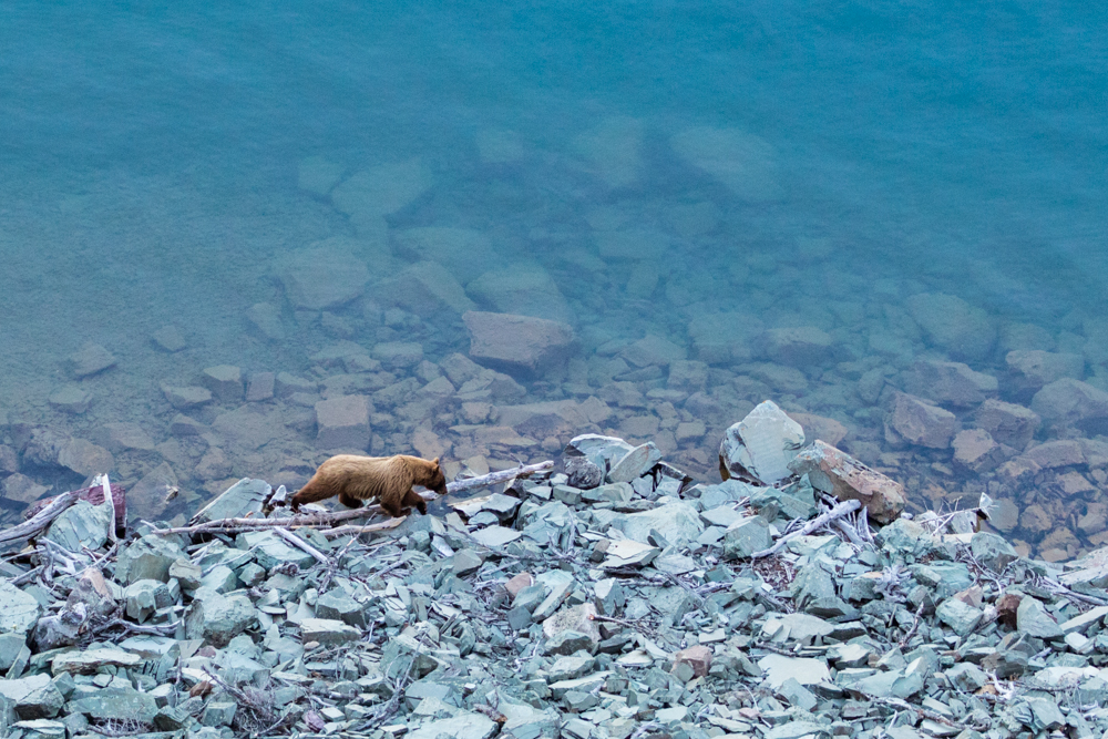 Grizzly bear walking along shoreline of St. Mary